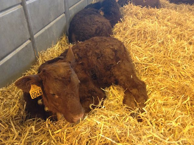 Salon d'Agriculture_calves