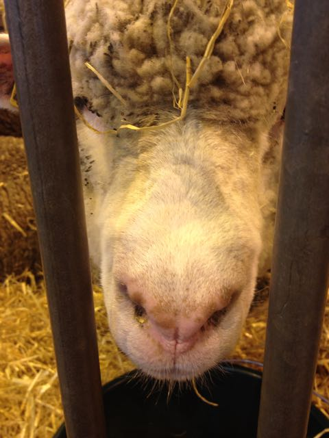 Salon d'Agriculture_sheep closeup