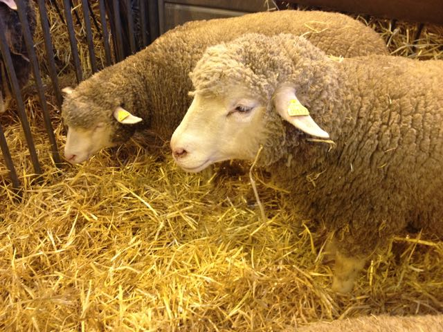 Salon d'Agriculture_sheep